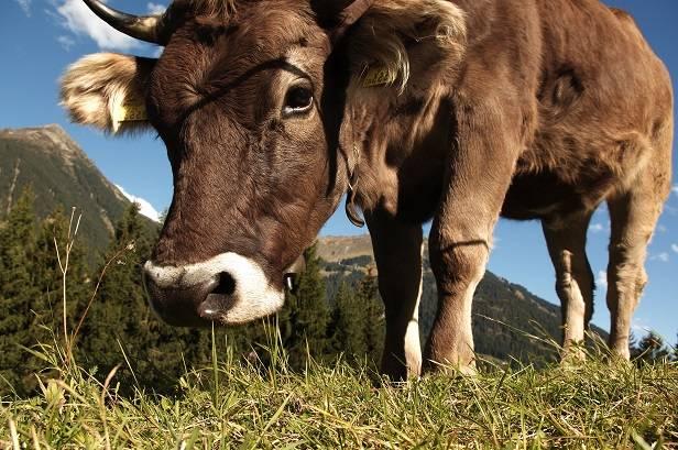 Poster leinwand tapeten kunst - Kuh bilder auf leinwand ...